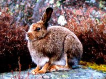 Great Hare