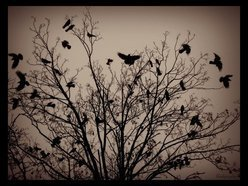 Image for The Crows Fly