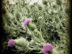 Image for Thistle