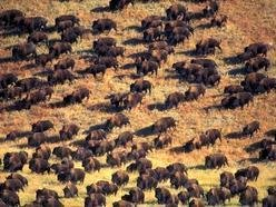 Image for Buffaloes