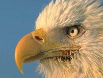 Angry Little Beak