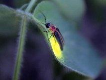 Fire-fly