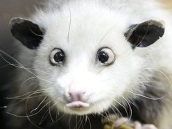 Image for Possums Are Awesome