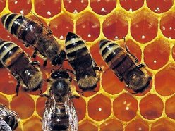 Image for the royal jelly