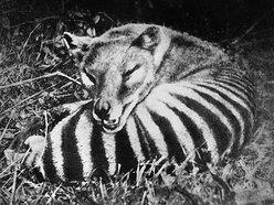 Image for Thylacine