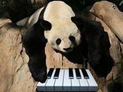 Chilled Panda