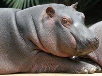 Hippopotamus Trio