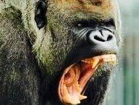 Gorilla Wrench