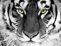 Tigerbyte
