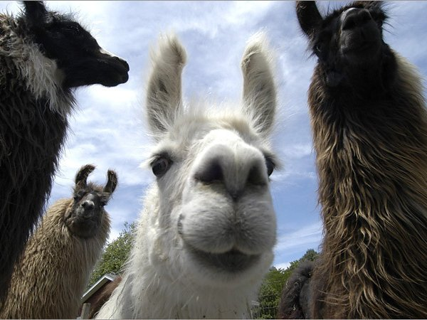 Image for Llamas on the Loose