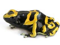 Golden Dart Frog  ARTIST OF 1315