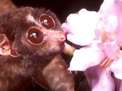 Image for Slender Loris