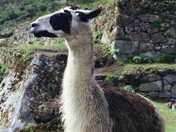 Image for Sad Llamas
