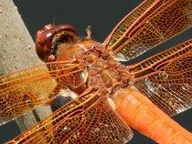 Dragonfly54