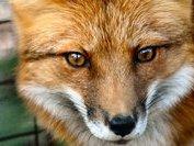 Johnny Da Fox