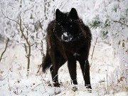 Lone Blackwolf