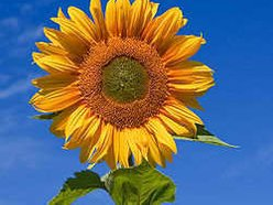 Sunflower Booking
