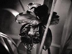 Black Orchid Entertainment