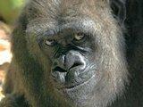 1399242009 gorilla giving the middle finger