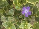 The Garden-- A single purple flower amidst a field of green. Some can identify with that I am sure.