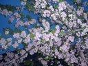 Japanese cherry tree on Cherryland, Zagreb