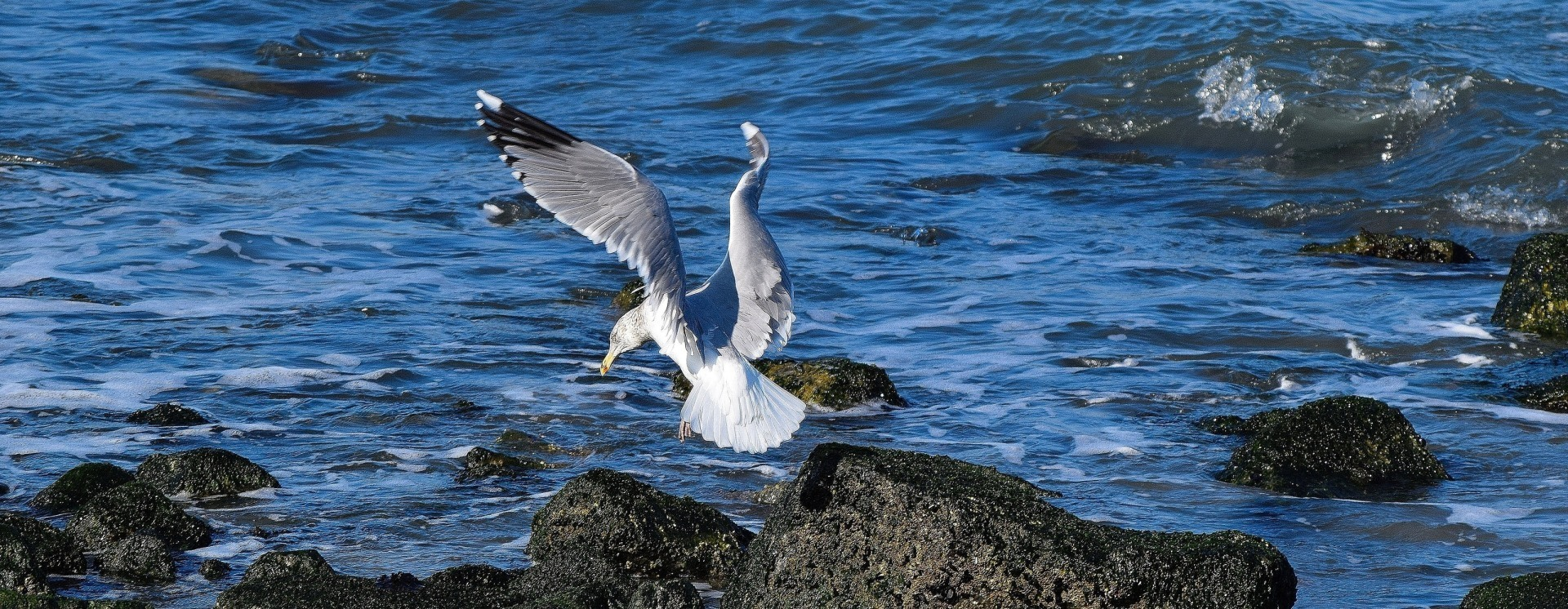 1452648207 sea gull landining copy