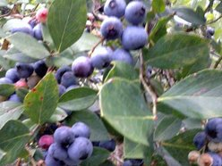 Image for Lowcountry Blueberry Festival
