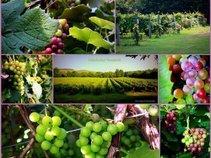 nolichucky vineyard